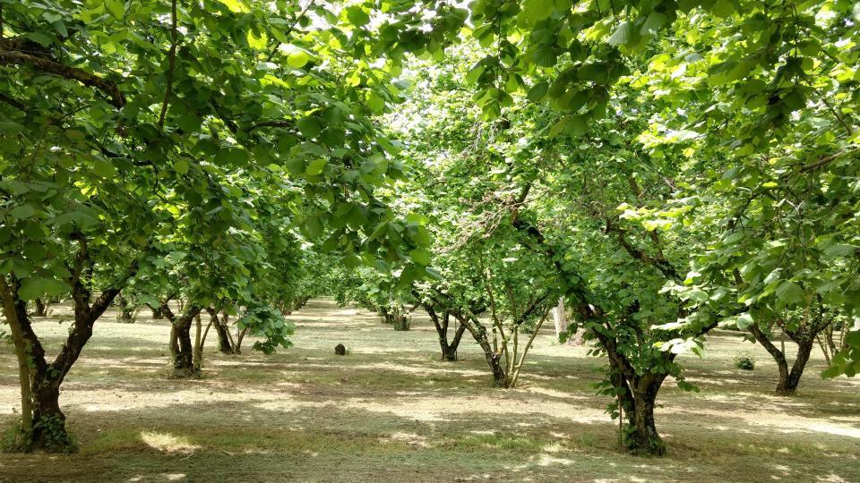 Olivenhain auf Via Francigena Sud